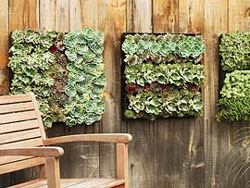 Succulents in living wall panels